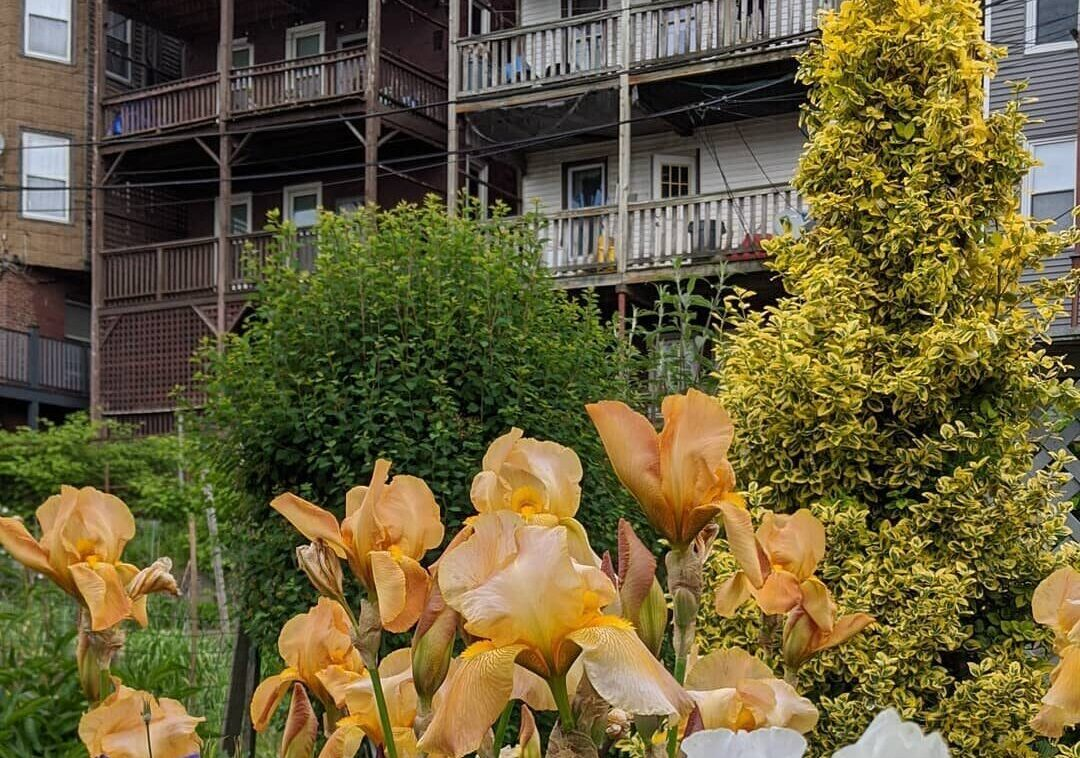 Irises against Boston buildings