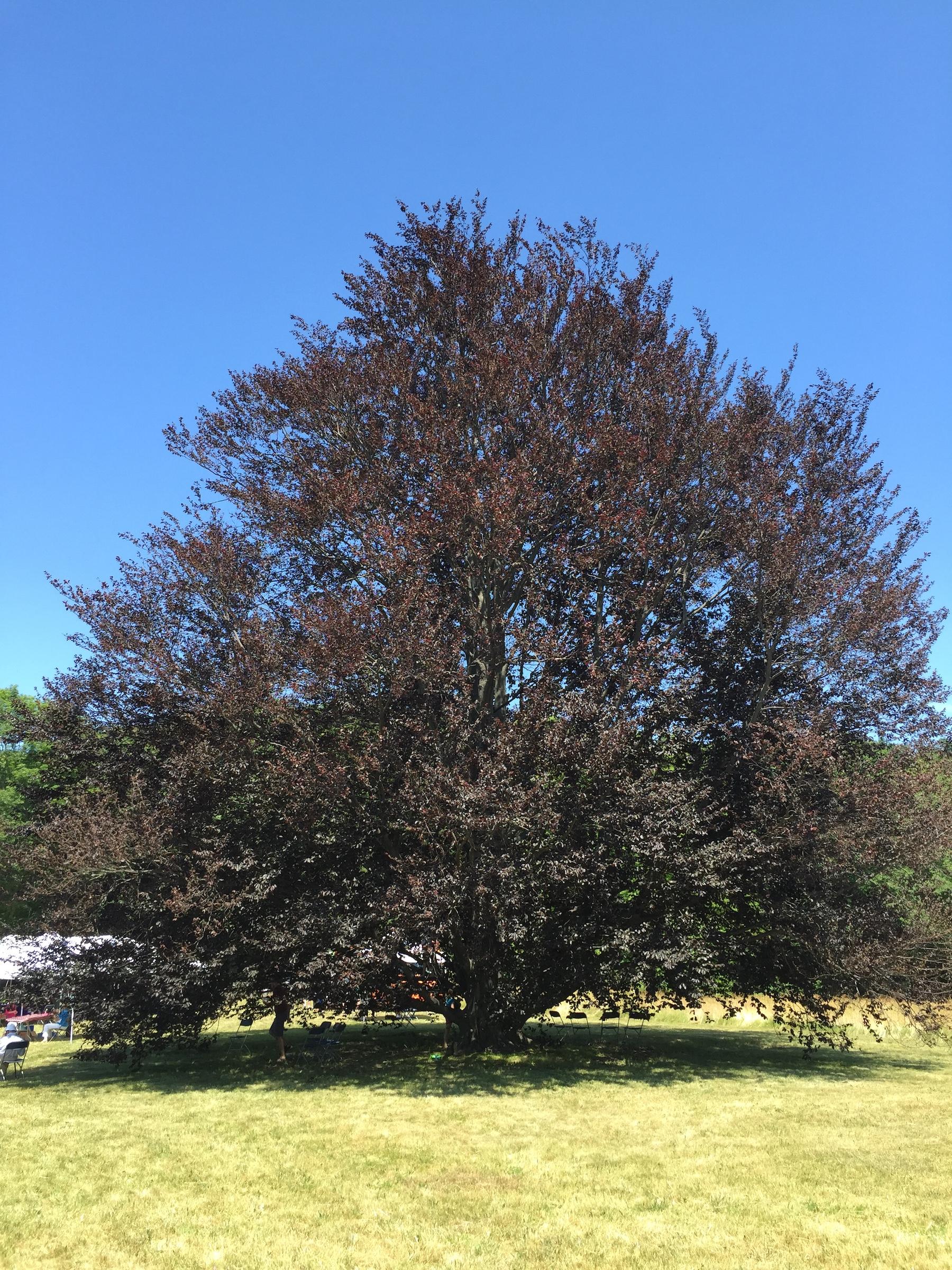 Pegan Hill beech tree