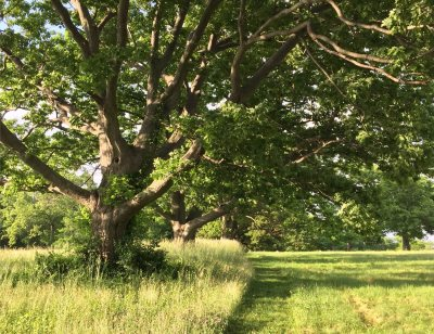 7 oaks