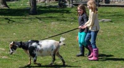Kids Walking a Goat