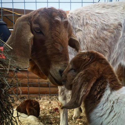 mama and baby goats