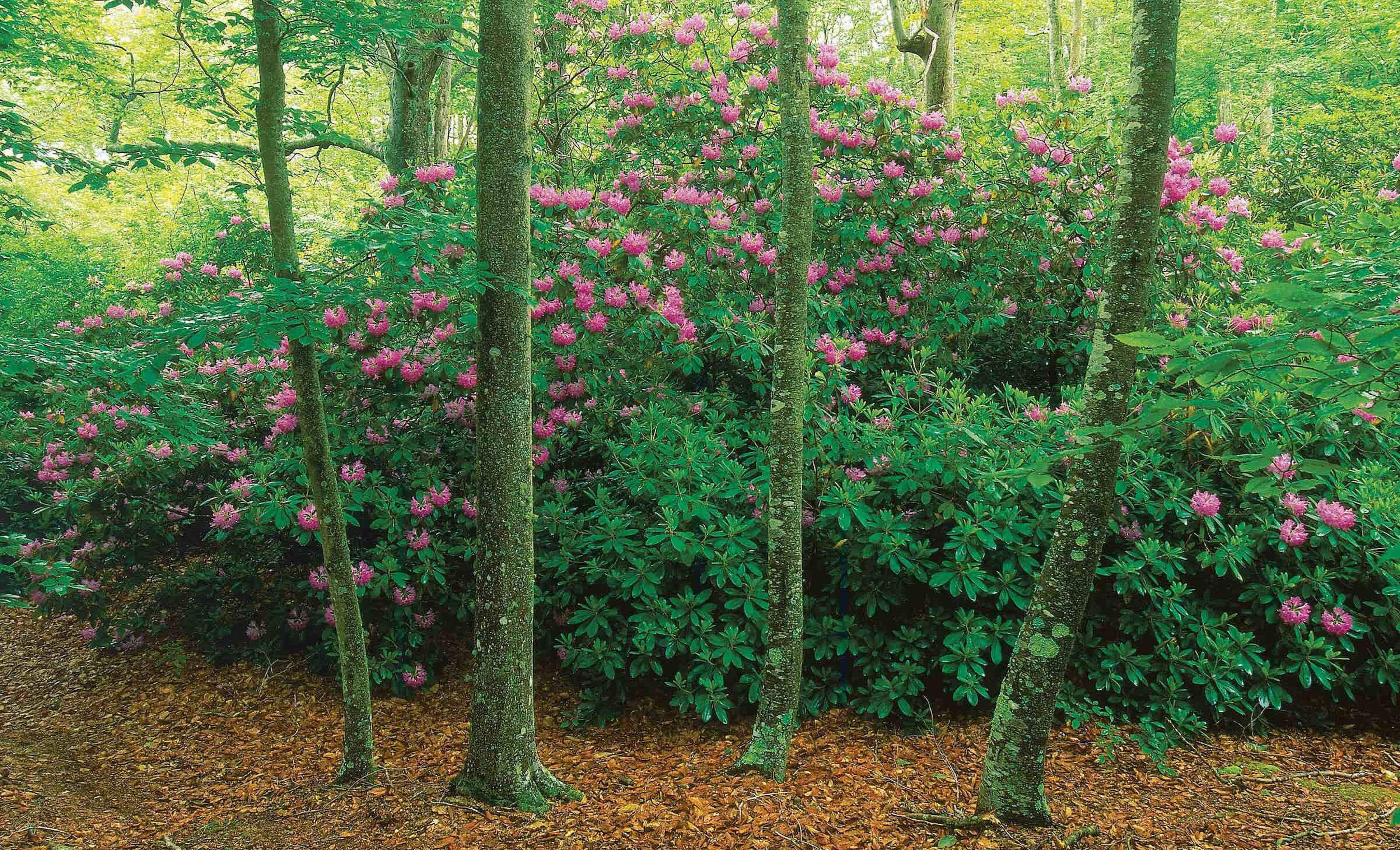 Lowell Holly rhododendrons