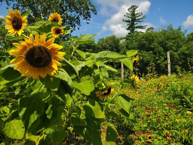 Naumkeag flower farm