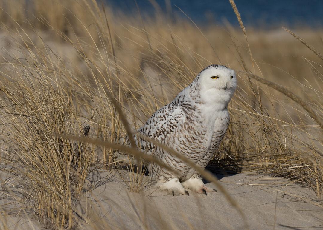 Massachusetts birding - Snowy Owl at Crane