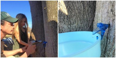 maple tapping at Chestnut Hill Farm