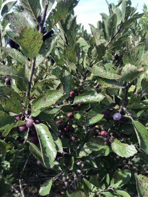 Beach plum plant
