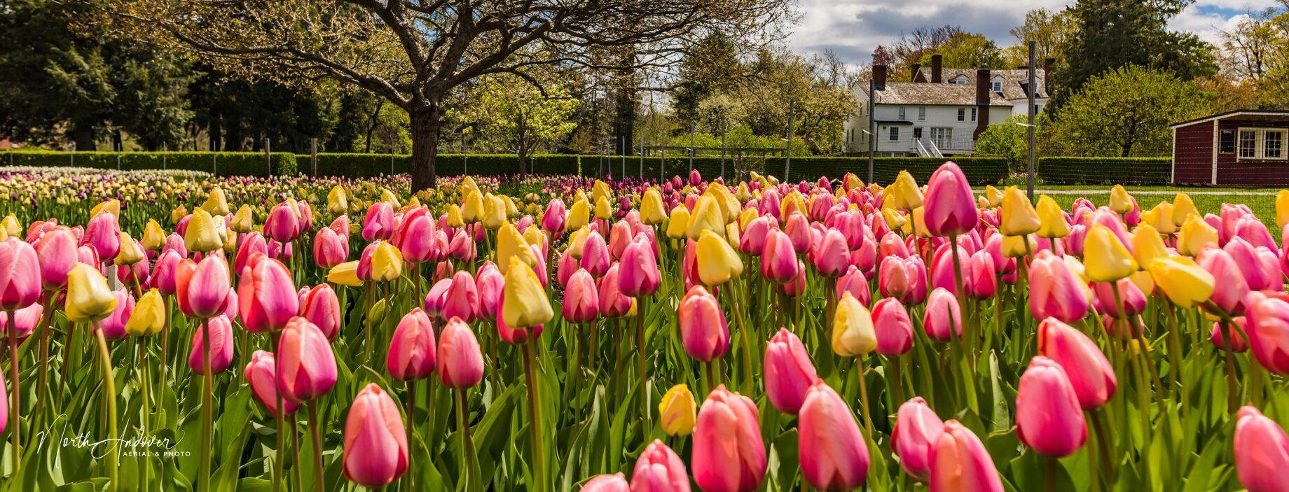 tulips at Stevens-Coolidge