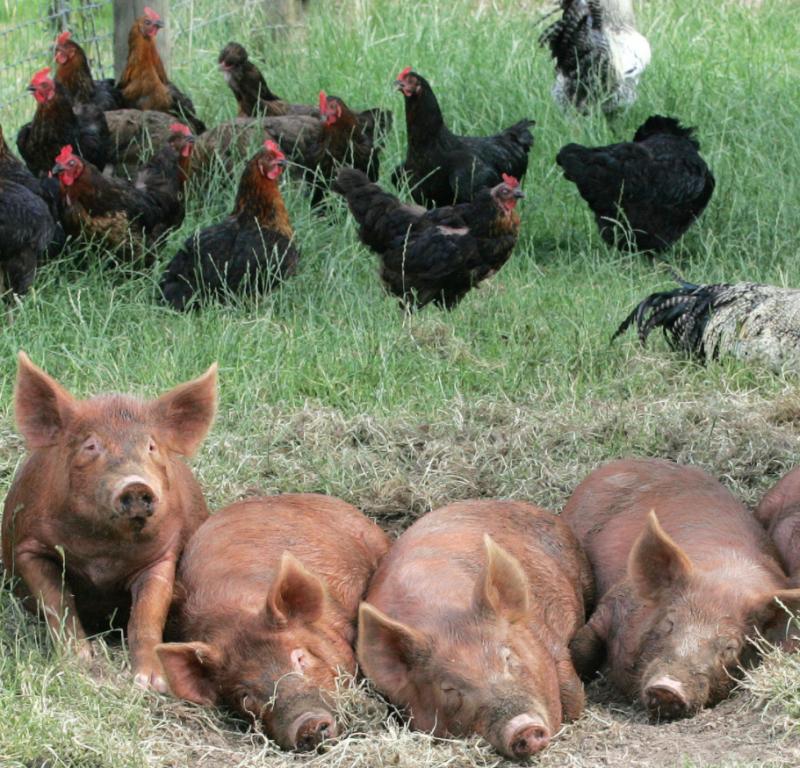Pigs Powisset