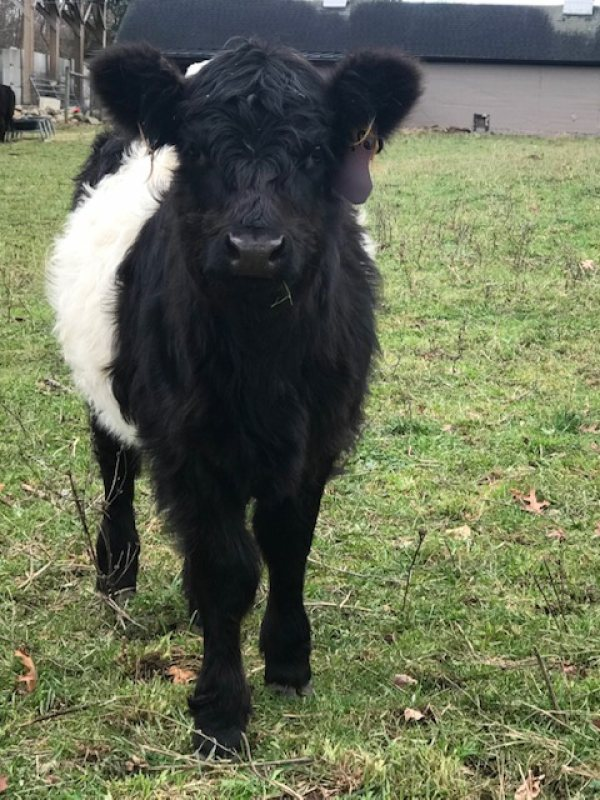 belted galloway at WRF