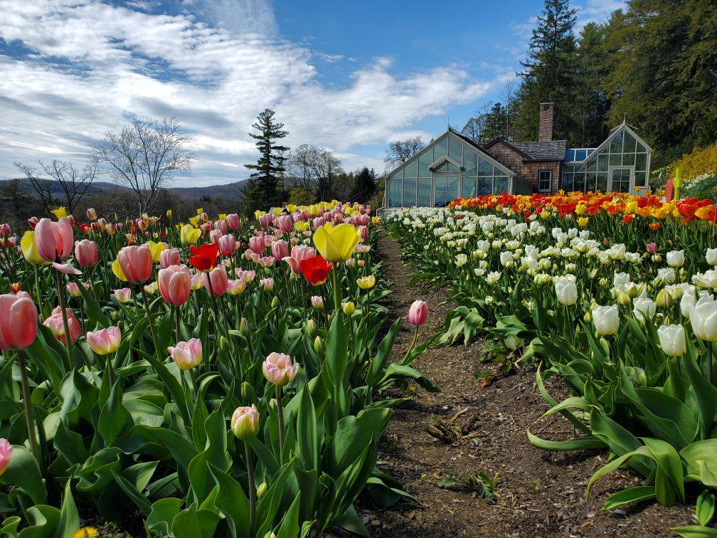 Rows of tulips at the Daffodil and Tulip Festival at Naumkeag