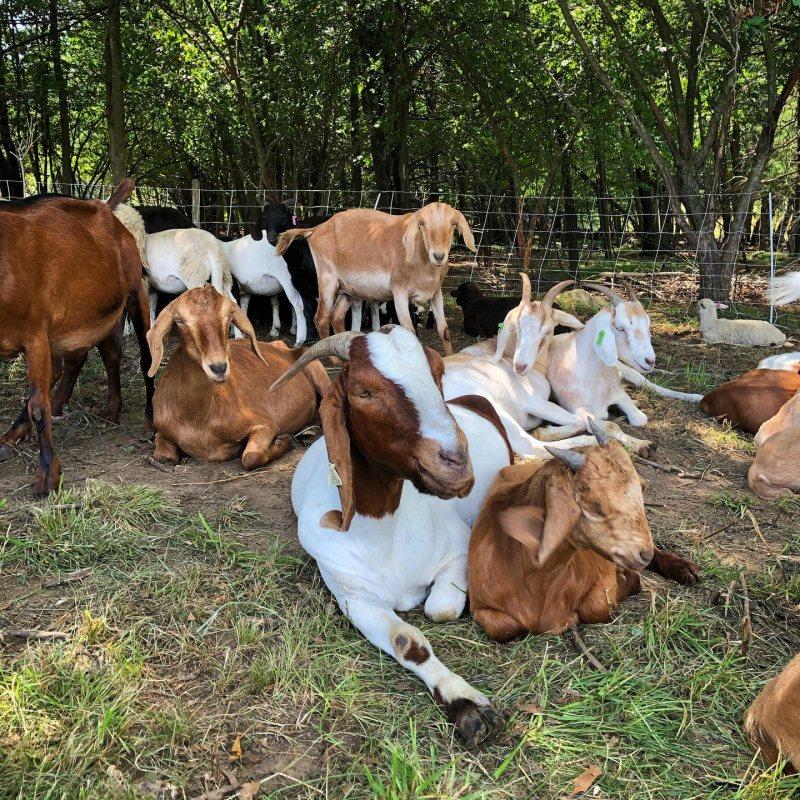 CHF goats