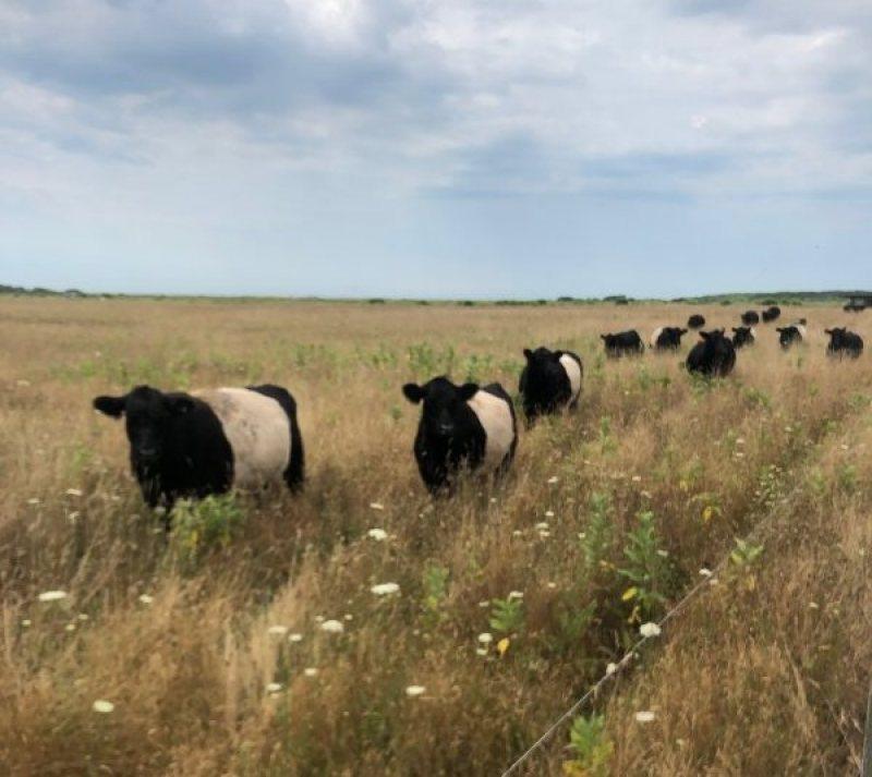 hayride cows
