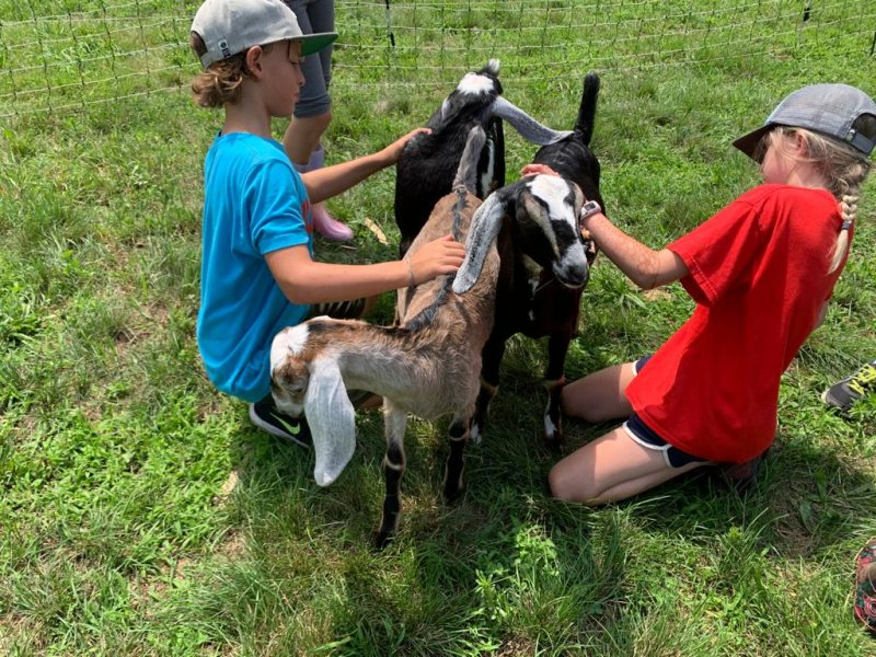 goats with children