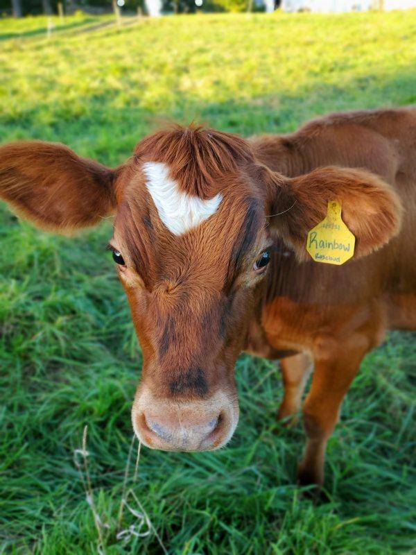 appleton cow