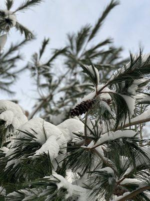 Pine cone tree rw