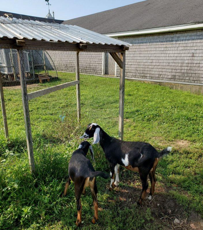 appleton goat